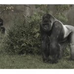 Are Gorillas Closer Human Relatives than Chimps?