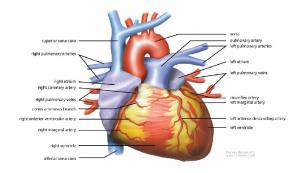 Photo credit: Wikipedia - Human heart.