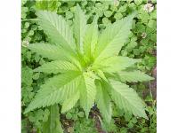 Photo credit: Wikimedia Commons - Marijuana Plant.