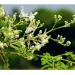 Moringa Oleifera – A Pharmacy On Trunk