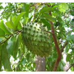 Sour Sop – The Miracle Fruit