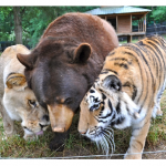 Unusual BFFs: A lion, Tiger, And Bear