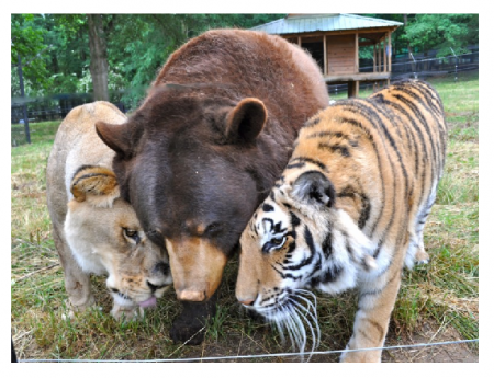 Photo Credit: HLN TV - BLT: Bear, lion and tiger are besties.