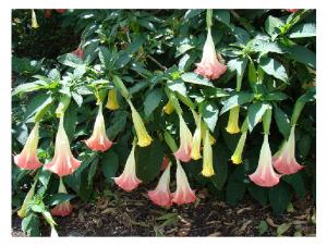 Photo Credit: Wikipedia - Angel's Trumpets (Brugmansia suaveolens / Solanaceae).
