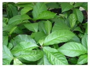 Anamu, Guinea Hen Weed, Live Plants.