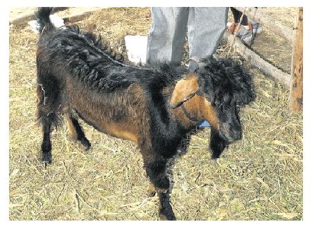 jheri curl goat
