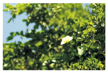 A lignum vitae tree