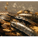 Farmers In China Seek To Market Cockroaches