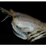 Oversized Alien-Like 'Shrimp' Caught Off Florida Is IDed