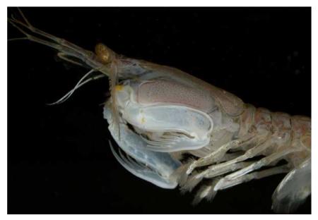 Alien like  mantis shrimp.