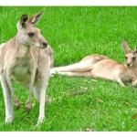 Kangaroos Mating Act