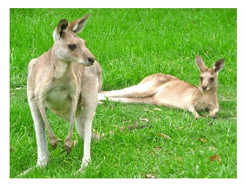 Kangaroos Sex