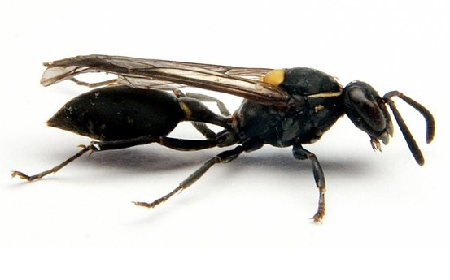 Study Shows Wasp