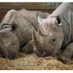 Rhinoceros Going The Way Of Dinosaurs — Extinct!