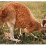 Do Kangaroos Produce Less Farts Than Other Ruminants?