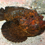 Stonefish — Eat Your Poison, Dear