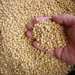 China Resumes Purchase Of U.S. Soybeans