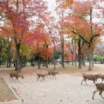 Nara Park In Japan